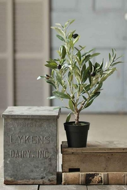 Potted Olive Tree, 19